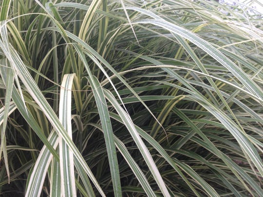 Many varieties of ornamental grasses provide texture in the landscape with striking foliage and feathery seed plumes.