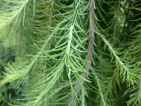Conifers in all shapes, sizes and colors can be combined with other textured plants to create panoramas of color and texture throughout your yard and garden. This is weeping larch.