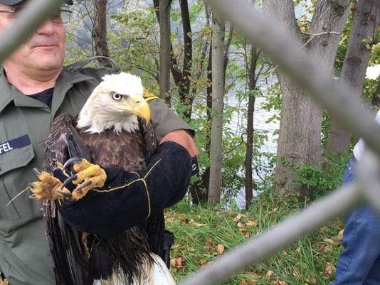 Game Commission Wildlife Conservation Officer Dennis Warfel holds an injured eagle found by two PennDOT workers earlier this week near the Norman Wood Bridge.