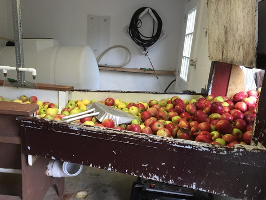 Apples are sorted before being washed at Hacklebarney Farm in Chester.