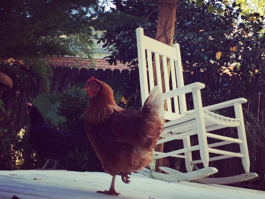 The chickens are back at it!