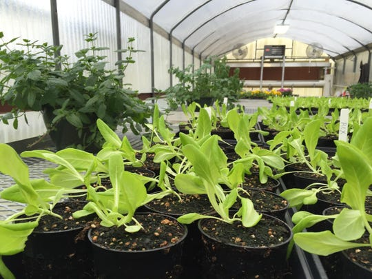 Lettuce and herbs grow in a greenhouse at Rayville