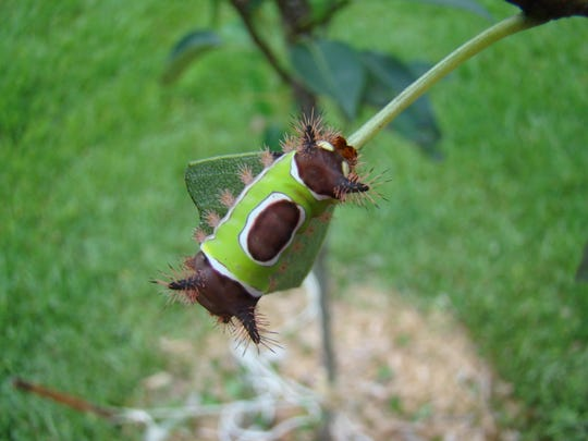 Saddle Back CaterpillarJPG