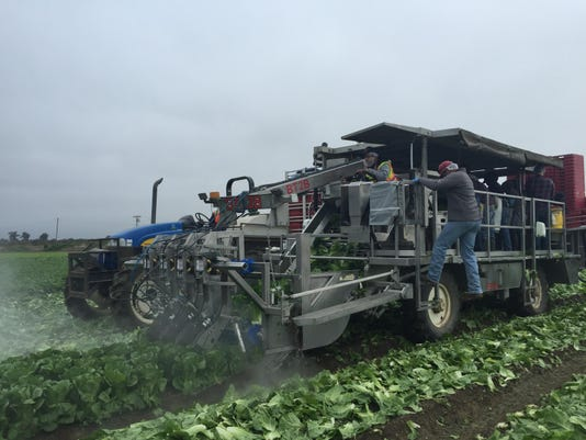 An automated romaine lettuce cutter.