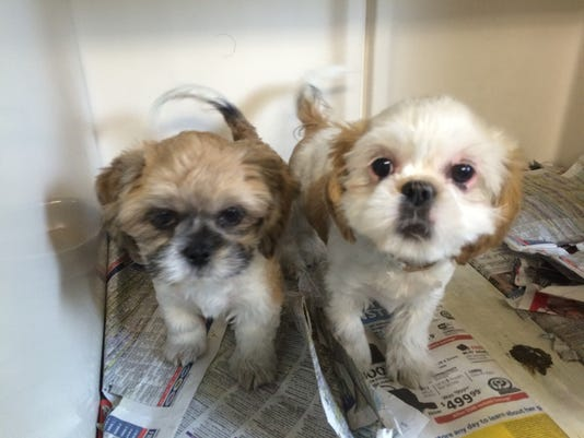 shih-tzu-puppies.JPG