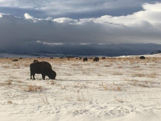 bison graze