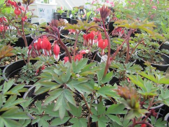 4 Garden Thyme bleeding heart