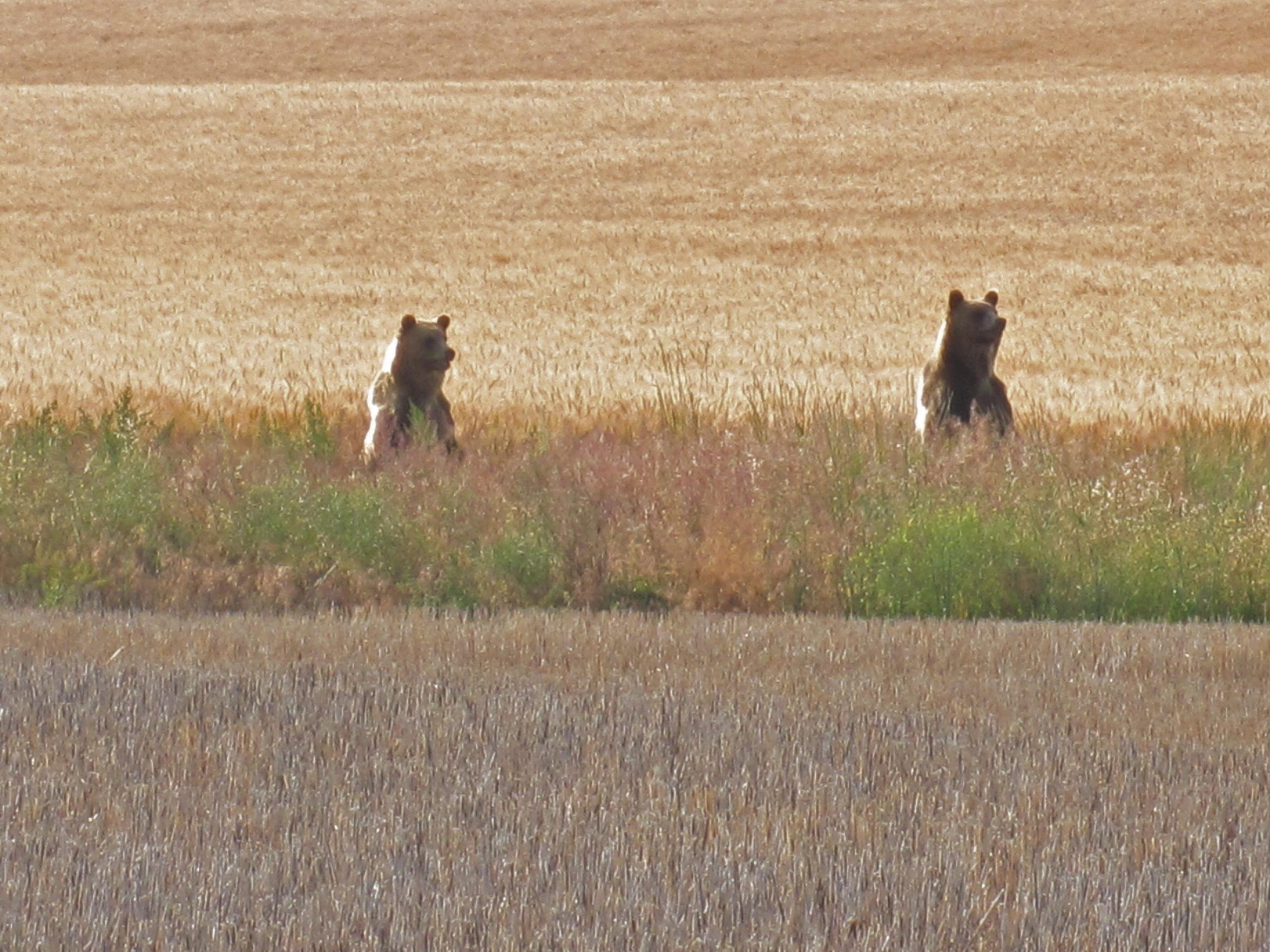 Two young grizzly bears were seen between two farm