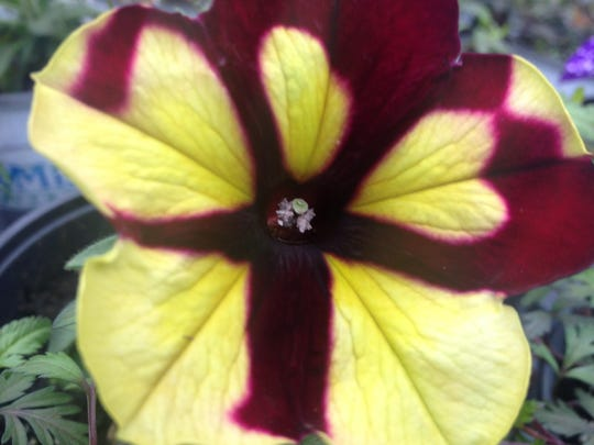 Petunia Sparky is a treat, with variable flowers swirled in lemon, lime and maroon.