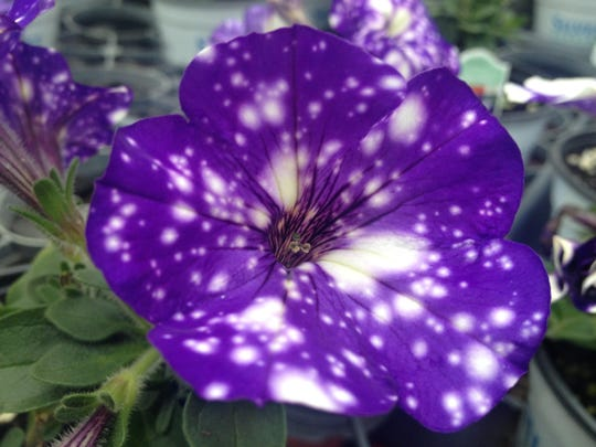 Night Sky petunia has enjoyed explosive popularity the past few seasons with it's magical charm.