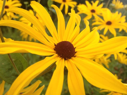 The many varieties of black-eyed Susan, or rudbeckia, set the summer garden ablaze with masses of rich, yellow and orange blooms.