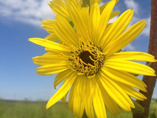 APC yard md wild summer sunflowers LEAD.JPG