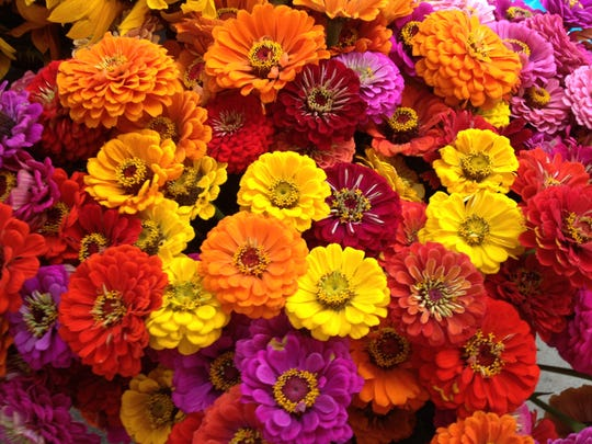 An explosion of color comes with zinnia stems, a popular addition to cut flower bouquets.