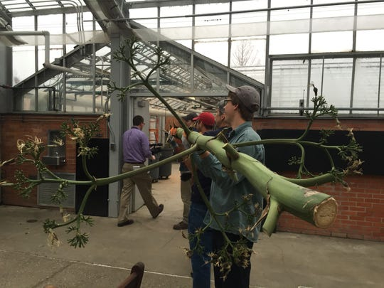 Agave stalk removed on Wednesday, April 8, 2015, at University of Michigan's Matthaei Botanical Gardens in Ann Arbor. It is being saved for possible use as part of a flute-like musical instrument.