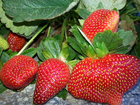 Strawberries will abound at the upcoming Strawberry Festival.