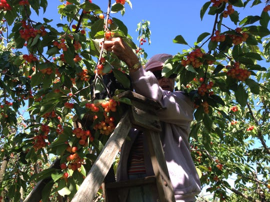 Betty Maas, Appleton, made her yearly pilgrimage to Door County Thursday morning picking sweet and tart cherries at Paradise Farms in Brussels. The pick-your-own orchard opened Monday.