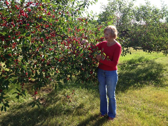Karen Alexander shows how heavily laden with cherries trees like this one are along Rileys Bay Road, while trees in an open area on Stevenson Pier Road died due to the cold winter.