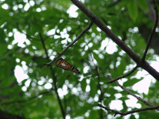 -dcn 0827 ridges monarch in tree.JPG_20140822.jpg