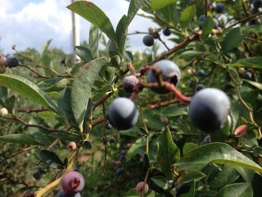 7.12.14 A loaded blueberry bush against the summer sky. Prime time for picki.jpg