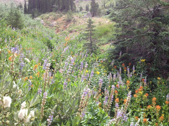 Despite the drought gripping the western United States, there are still some wildflowers to be found in the Tahoe National Forest.