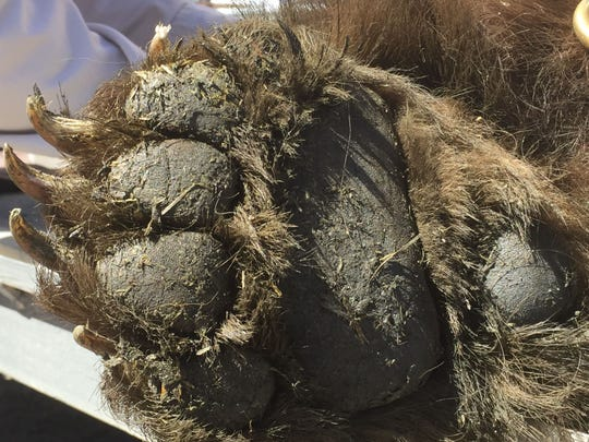 Bear claw: The paw of a 350-pound black bear that was captured April 8, 2015 in Jacks Valley.