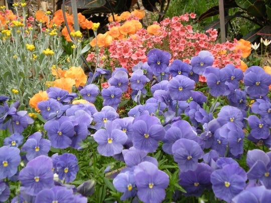 Fall is a great time for planting shrubs and trees as well as winter annuals such as these pansies and diascia flowers.