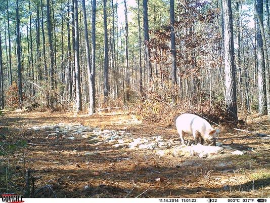 1A.main.Main pig, captured on DNREC camera