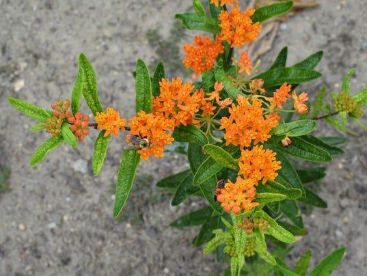 -Butterfly-weed-BASF.JPG