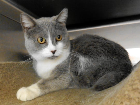 Pearl is a gorgeous 7-year-old, spayed-female domestic