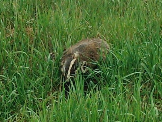 636324301476405294-Badger-trail-cam-photo-cropped-Ozaukee-County-2017-copy.jpg