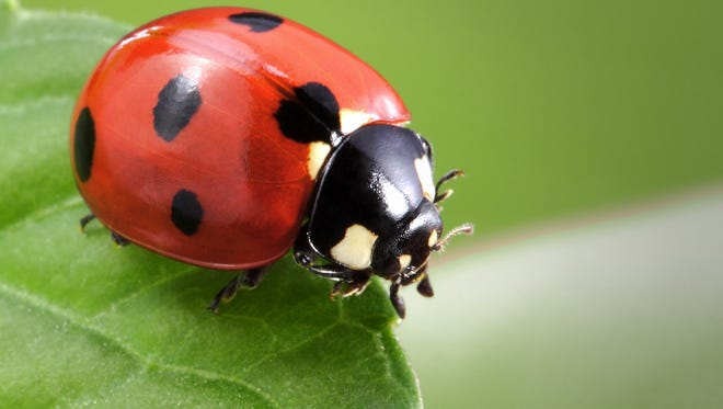 Ladybugs have come out in big numbers in the Fox Valley.
