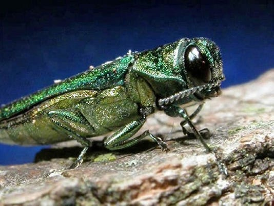EMERALD ash borer gwm photo