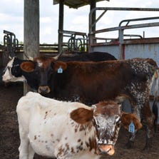 """Nine cows numbered among the animals seized from """"poor living conditions"""" at a Flagler Estates home in August, authorities said."""