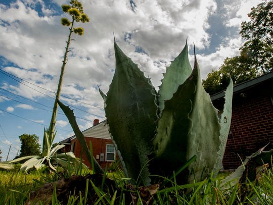 A century plant blooms in the yard of Sharall Williams