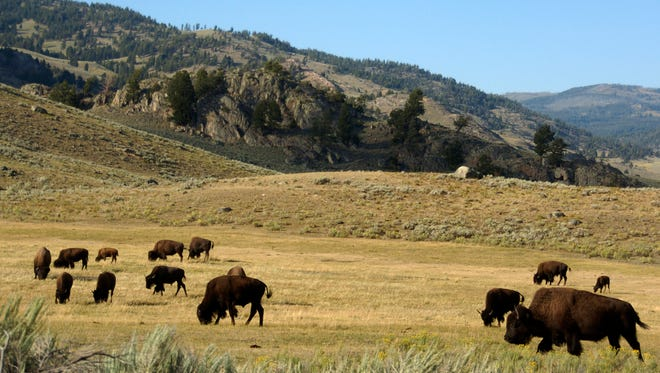 """FILE - In this Aug. 3, 2016 file photo, a herd of bison grazes in the Lamar Valley of Yellowstone National Park. A new superintendent was named Wednesday, June 13, 2018, to Yellowstone National Park, one of the crown jewels of the park system, after his predecessor said he was being forced out by the Trump administration following a dispute over bison. Cameron """"Cam"""" Sholly will replace Dan Wenk, who has been superintendent since 2011, according to the Department of Interior.  (AP Photo/Matthew Brown, File)"""
