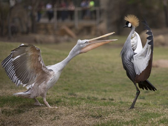 A pink-backed pelican, left, and a East African crowned