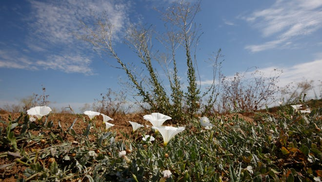 In this Tuesday, July 21, 2015 photo, weeds grow in a field that had been cleared of almond trees because of the lack of water,  at the Stewart & Jasper Orchards, in Newman, Calif.