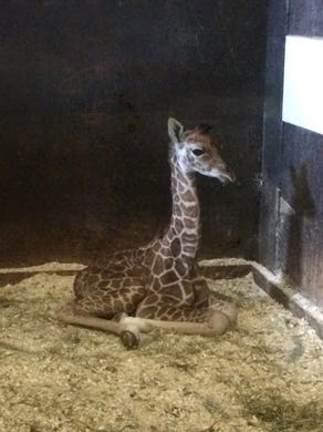 2014: Mika, the baby giraffe at Six Flags Great Adventure in Jackson.