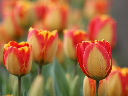 The 2017 Wooden Show Tulip Festival takes place 9 a.m.