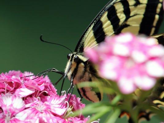 swallowtail-face