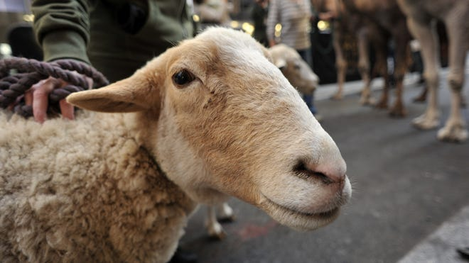 Q fever is a disease found in sheep, goats and other livestock.