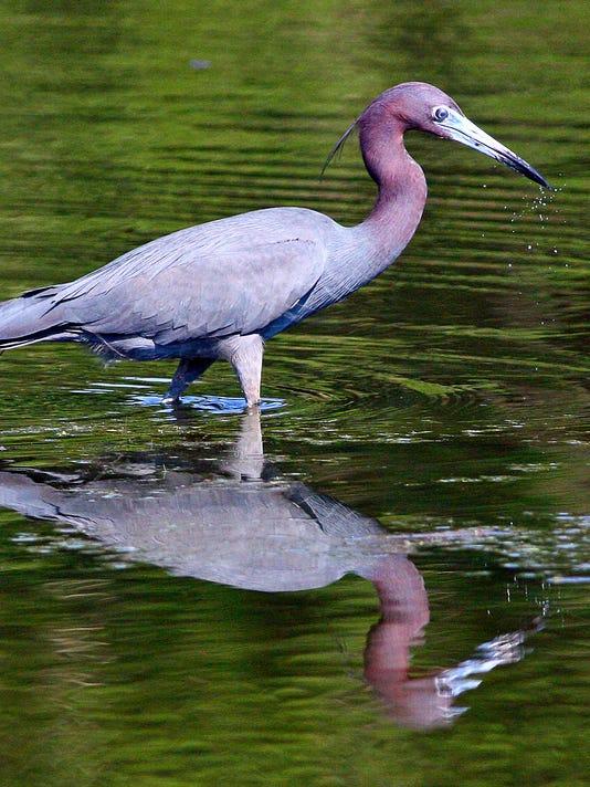 Little-Blue-Heron-in-Southwood-BEST-10A.jpg