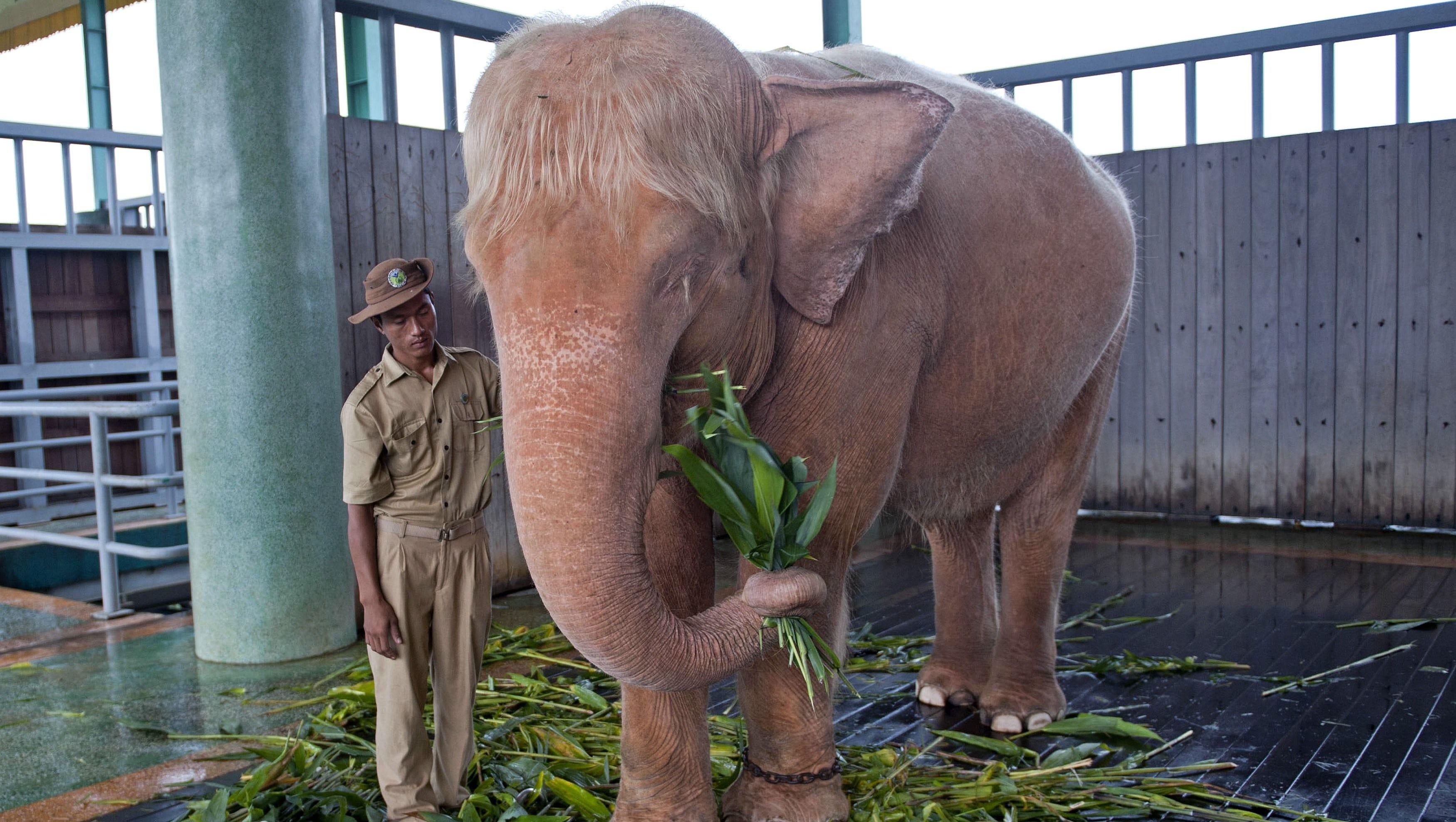 Burma captures 20th rare white elephant