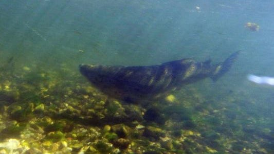 Michigan's Department of Natural Resources reintroduced Chinook salmon to the Great Lakes in 1966.