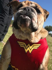Riley chose to compete in the CASA run Saturday and run as Wonder Woman. The bulldog won honors as best costumed four-legged participant.