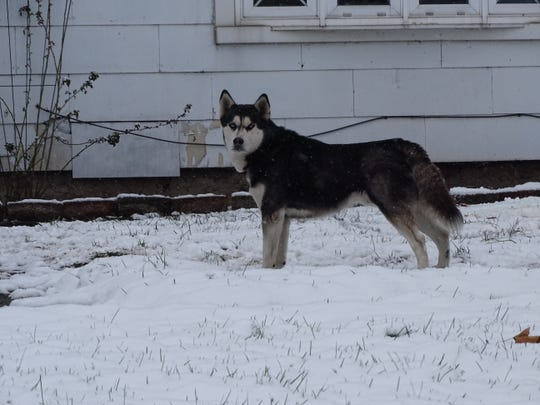 Some dog breeds, such as Huskies, prefer to stay outside