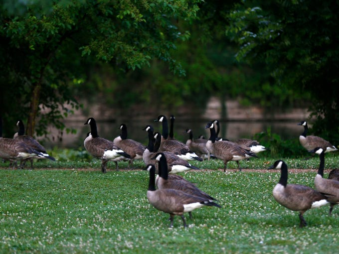 Canada Geese at Finley River Park on Monday, June 15,
