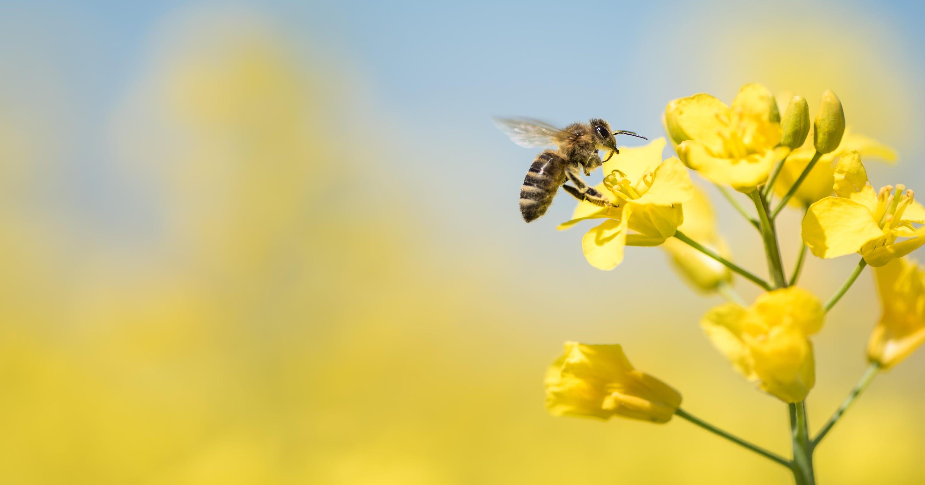 Legislators look to sweeten up Iowa's list of symbols by naming honeybee as state insect