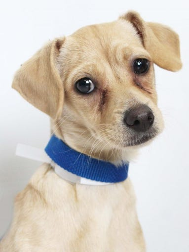 Kelsey is a sweet 4-month-old Terrier mix. She is up-to-date on vaccinations, spayed and received flea and heartworm prevention and a microchip. Kelsey is available for adoption at Young-Williams Animal Center, 3201 Division St. For more information, call 865-215-6599 or visit http://www.young-williams.org/.