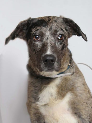 Layla is a 10-year-old female Catahoula Leopard dog. She is a spontaneous, fun senior looking for a permanent home. Layla is available at Young-Williams Animal Center, 3201 Division St. For more information, call 865-215-6599 or visit http://www.young-williams.org/.
